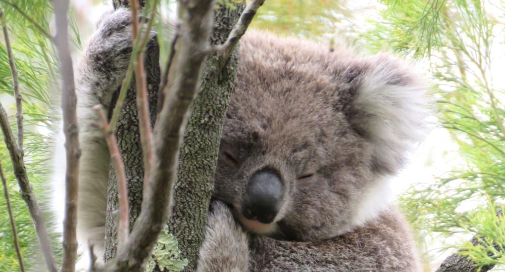 young koala face
