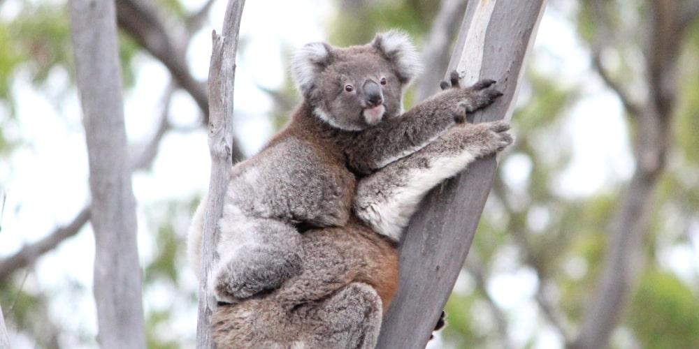 About Koala Indi