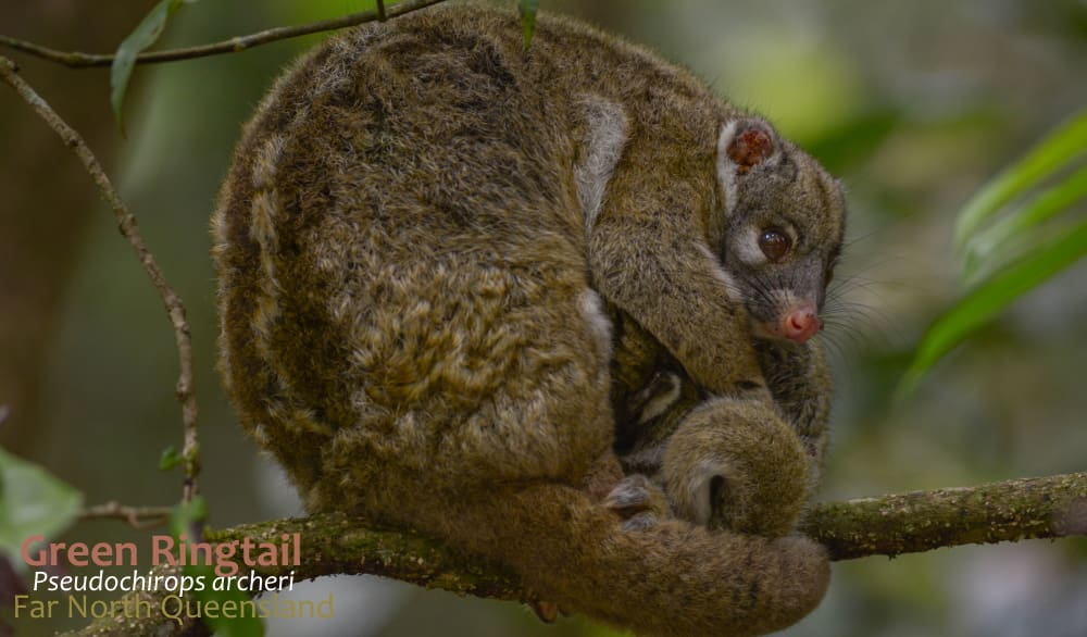 Green Ringtail with joey on branch Far North Qld