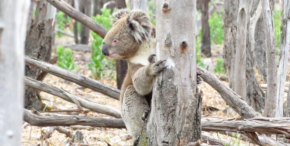 wild koala Lluvia climbing tree