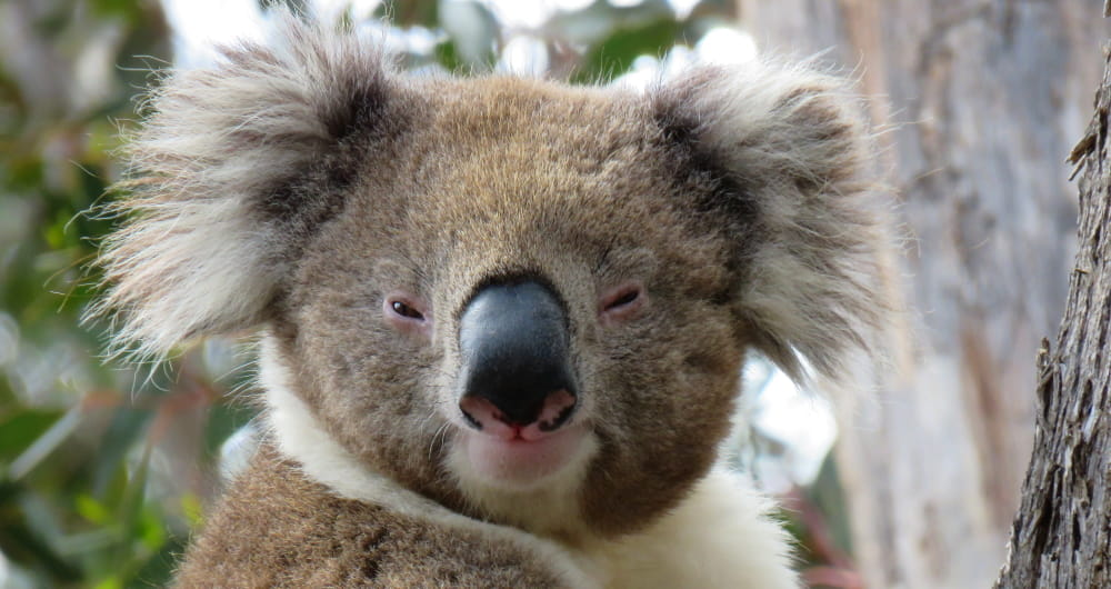 wild koala face You Yangs