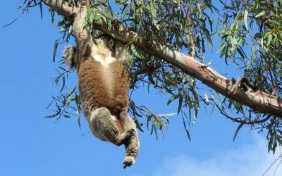 Elderly Koala Climbs Tough Tree