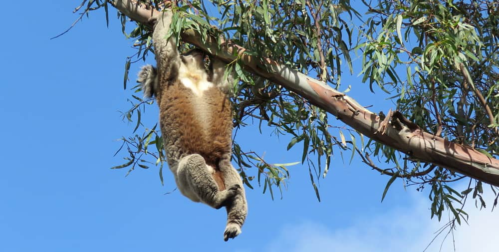 Elderly Koala Climbs Tough Tree