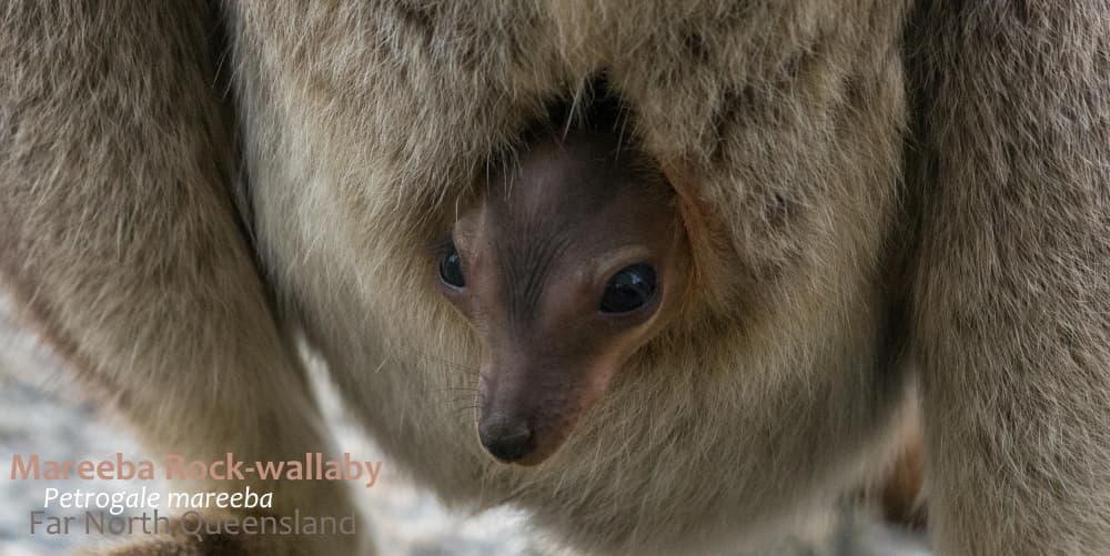 Mareeba Rock-wallaby pouch joey