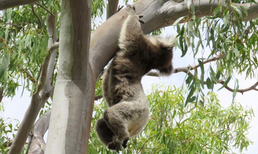 Koala climbing hanging from branch hands only