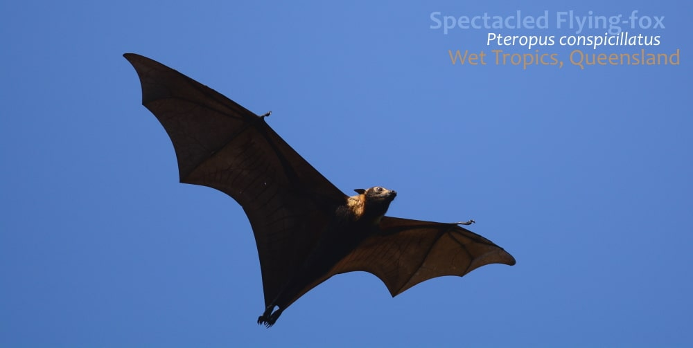 Spectacled Flying-fox flying