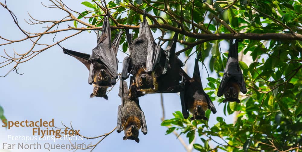 spectacled flying-fox north queensland