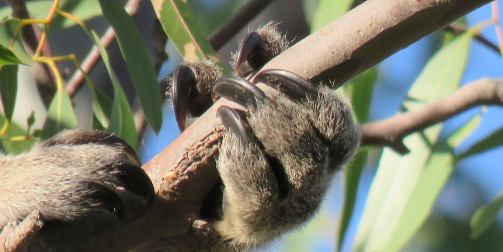 koala hands claws for climbing