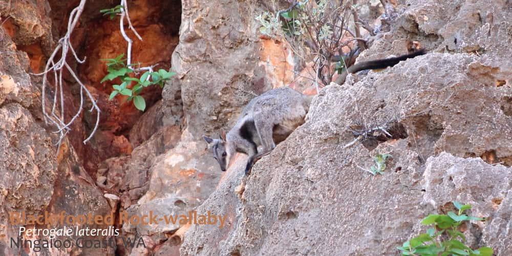 rock-wallaby Cape Range Western Australia