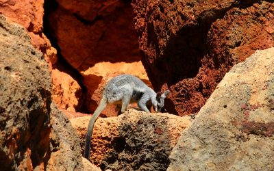 The surprising wildlife of Cape Range, Ningaloo Australia.