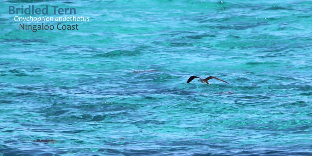Bridled Tern over Ningaloo Reef