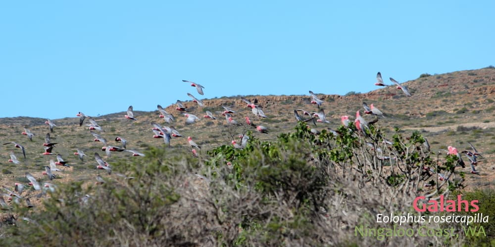 Galahs Cockatoos flying Western Australia