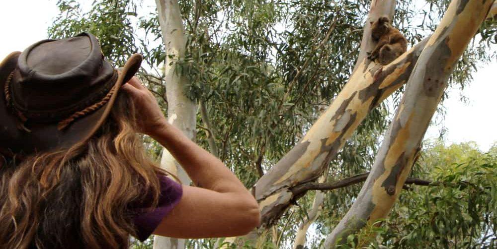 koala research in wild