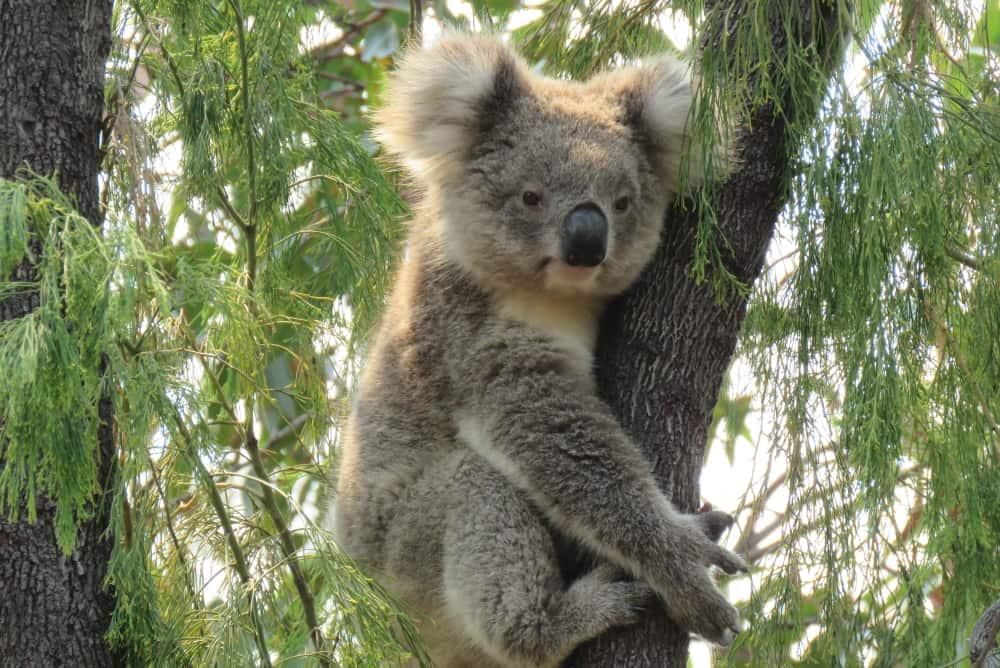 young koala wild