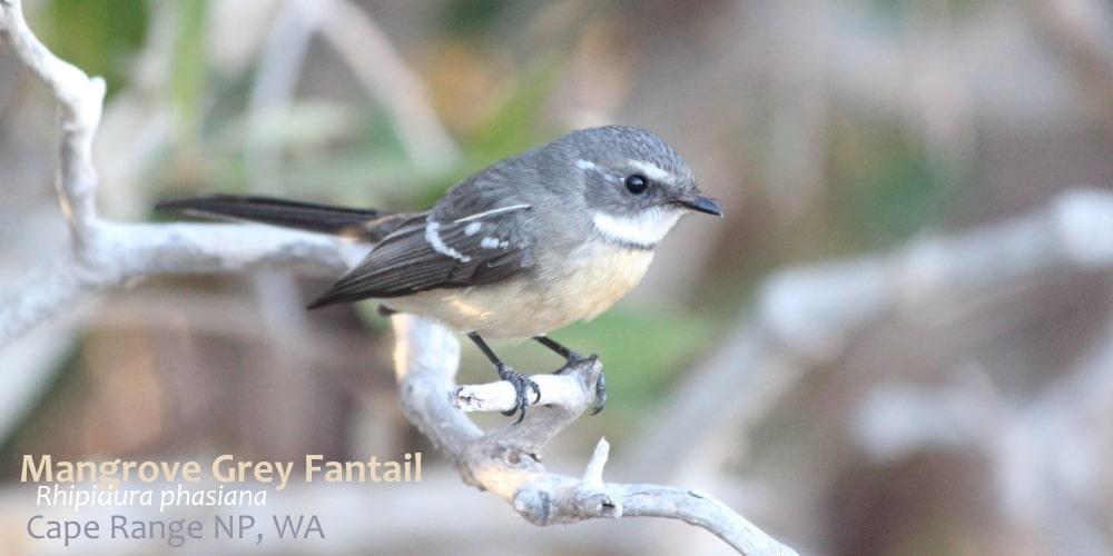Mangrove Grey Fantail Western Australia