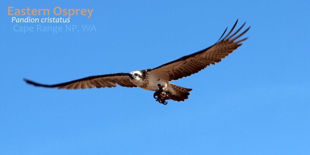 eastern osprey wild ningaloo beach