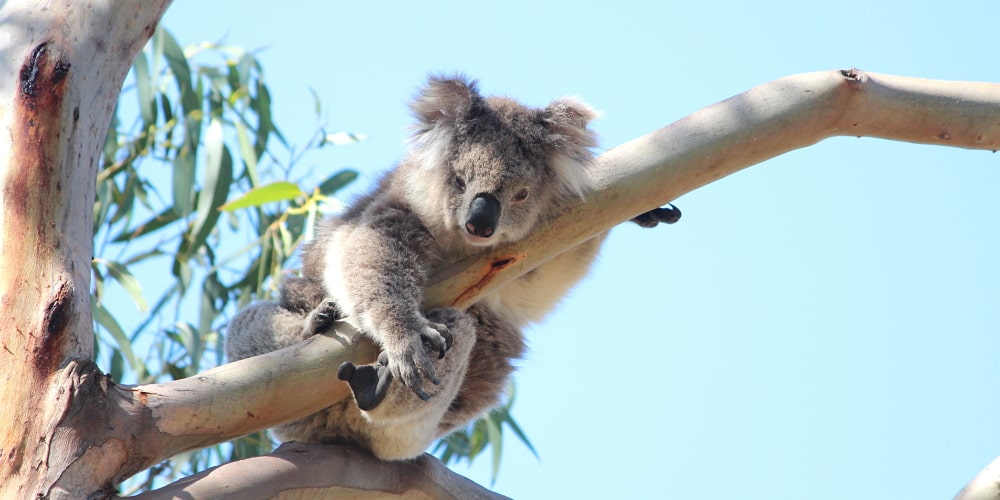 elderly koala in tree