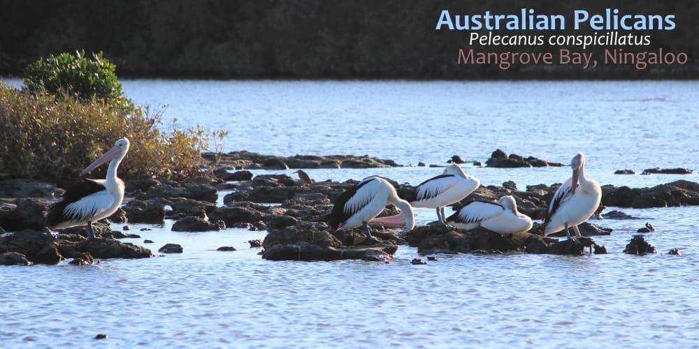 Pelicans Mangrove Bay Western Australia