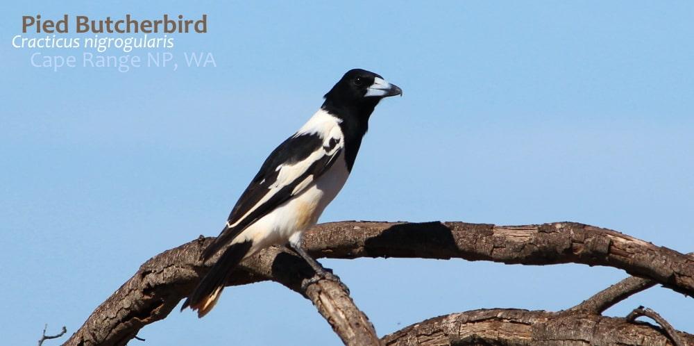 Pied Butcherbird Exmouth Western Australia