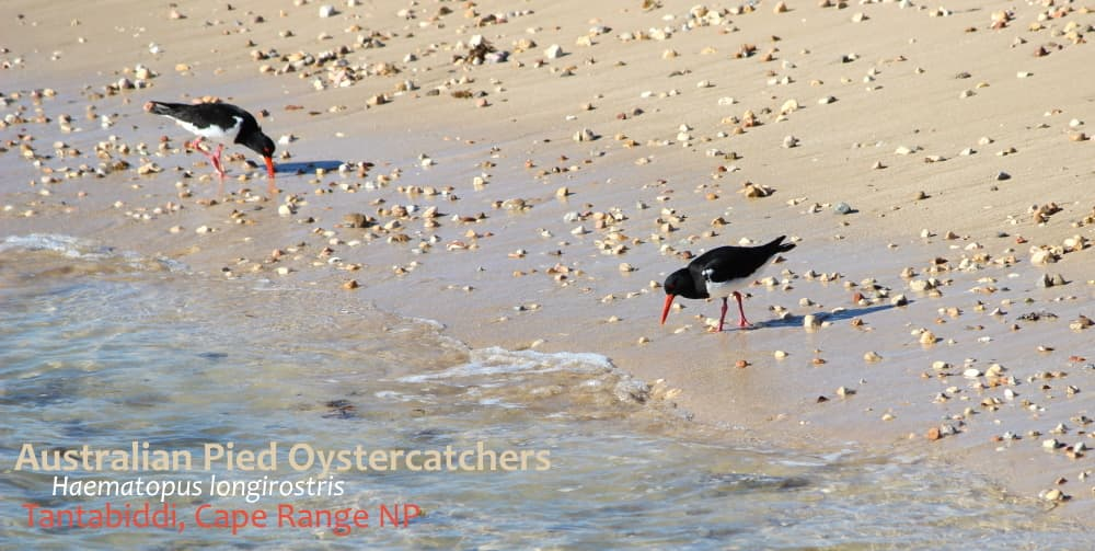 Oystercatchers on beach Ningaloo