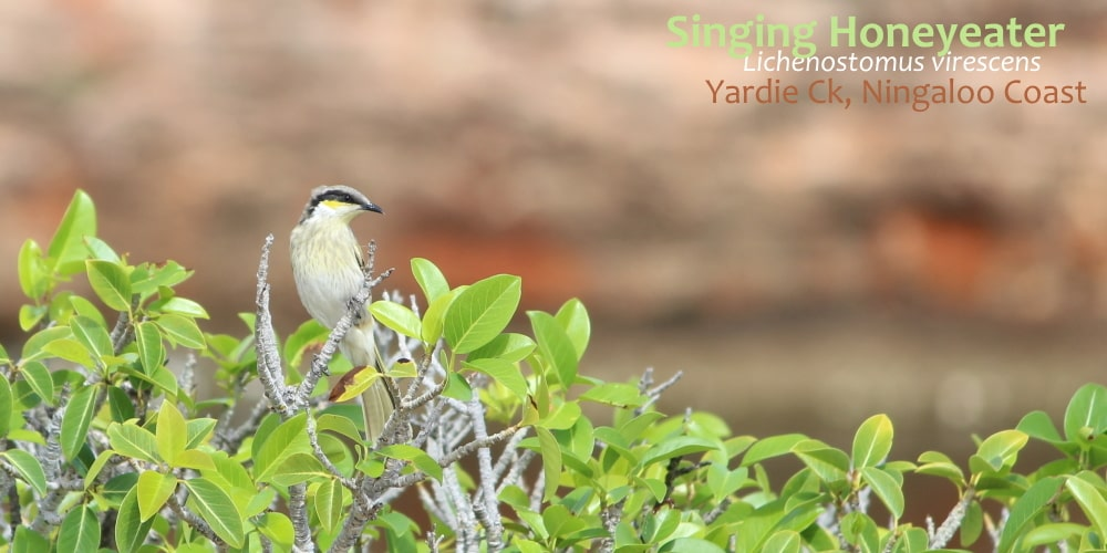 honeyeater bird Yardie Creek Western Australia