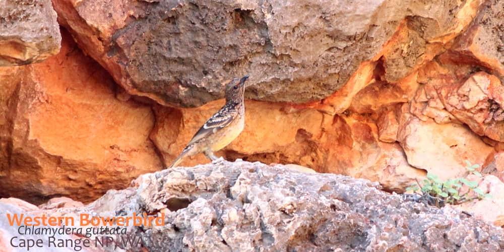 western bowerbird exmouth WA