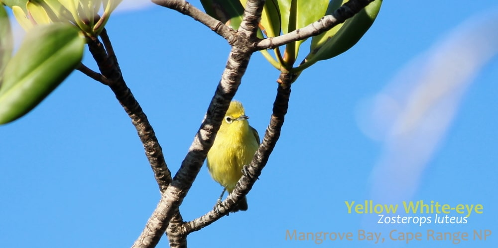 Yellow White-eye bird wildlife of Cape Range Coral Coast WA
