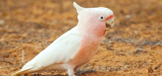pink cockatoo mungo