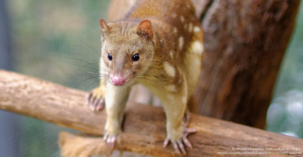 Spot tailed Quoll captive threats