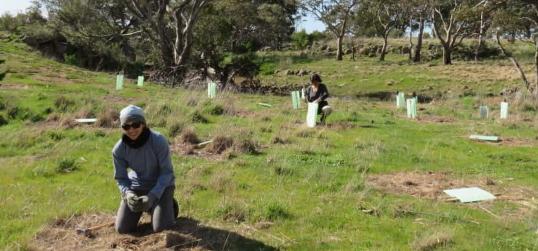 koala recovery tree planting