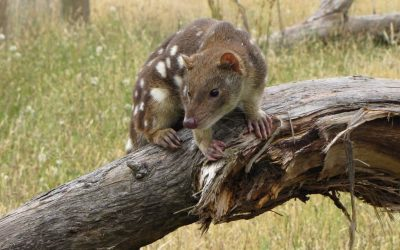 How To Help An Endangered Tiger Quoll