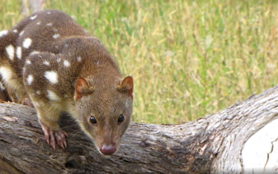 New tour helps Aussie Tiger Quoll in far North Queensland