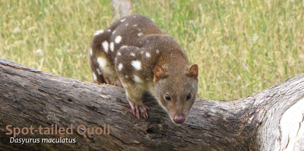 spot-tailed quoll