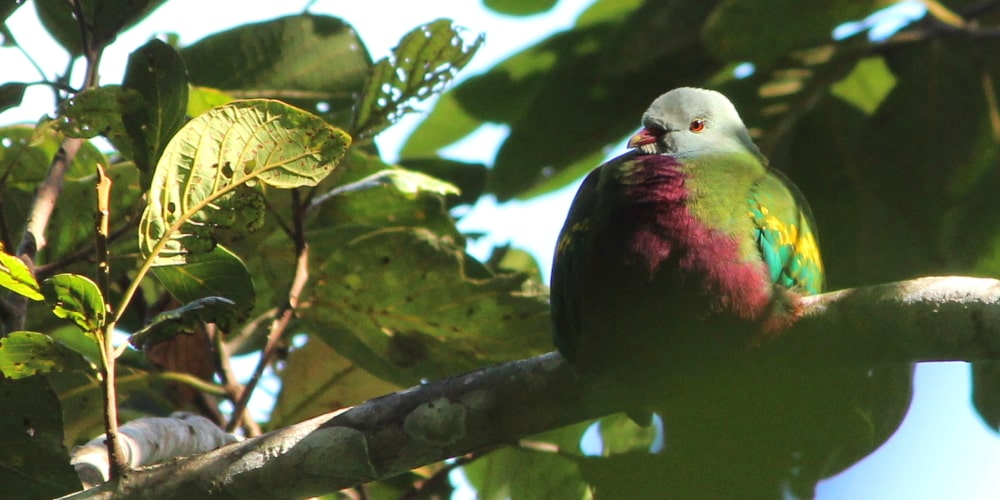 rainforest fruit dove far north queensland