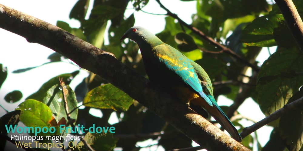 wompoo fruit dove north queensland