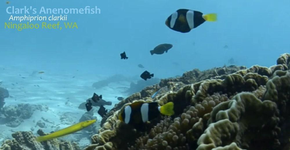 anenomefish clownfish Ningaloo reef