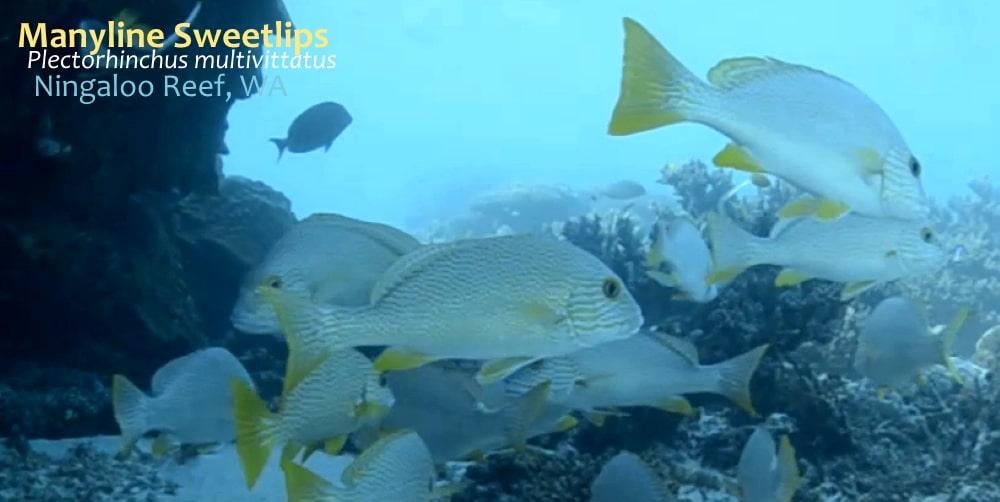 manyline sweetlips little fish Ningaloo