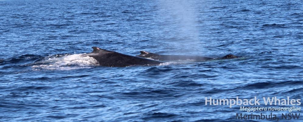 two humpback whales Megaptera novaeangliae dorsal fins
