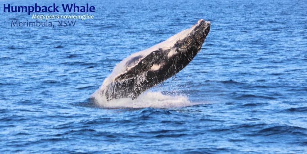 humpback whale breaching Megaptera novaeangliae