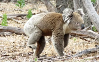 How Boneseed Weed Affects Koalas