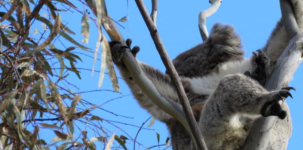 Koala in tree affected by leafblister sawfly