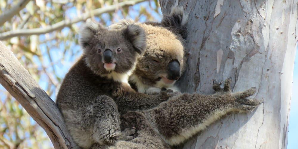 Mother joey You Yangs koala research 2018