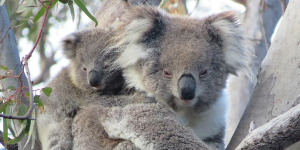 You Yangs koalas in 2018