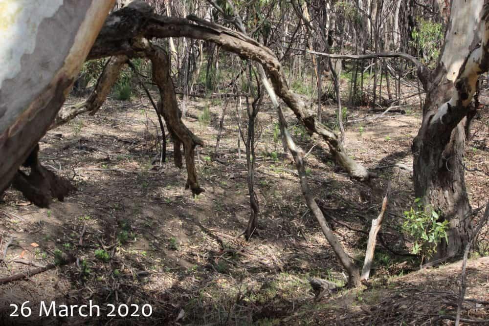 Boneseed Chrysanthemoides monilifera affect on koalas