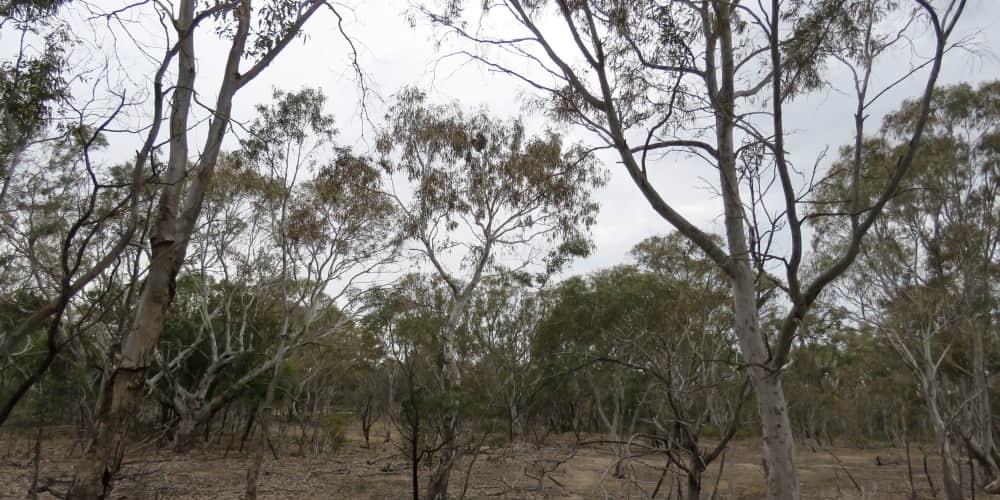 Eucalypt dieback koala You Yangs 2018