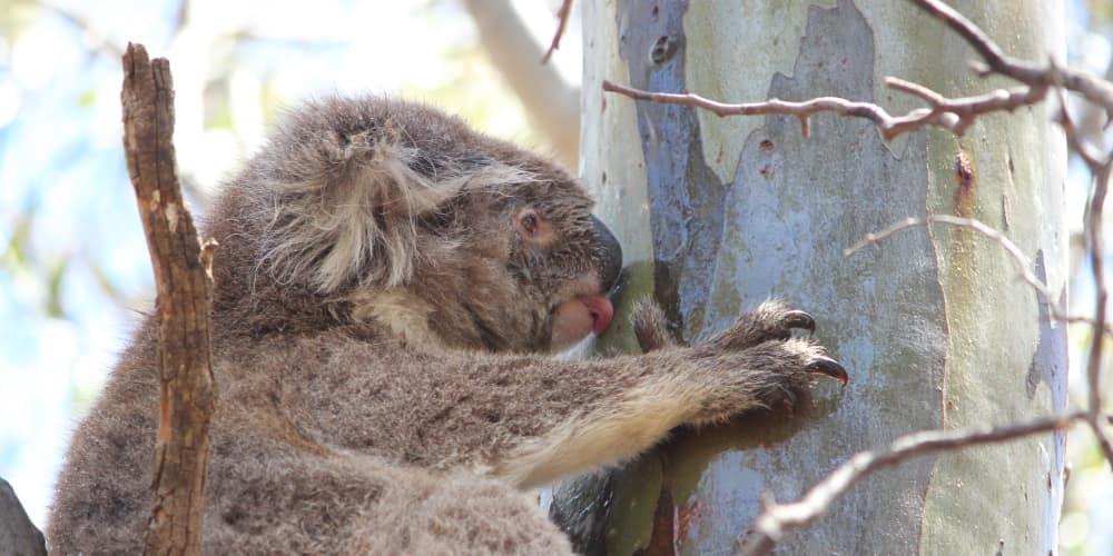 koala drinking stemflow