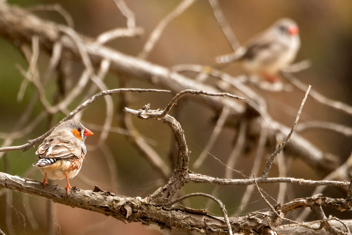 Zebra-Finch-coast-mountains-forests