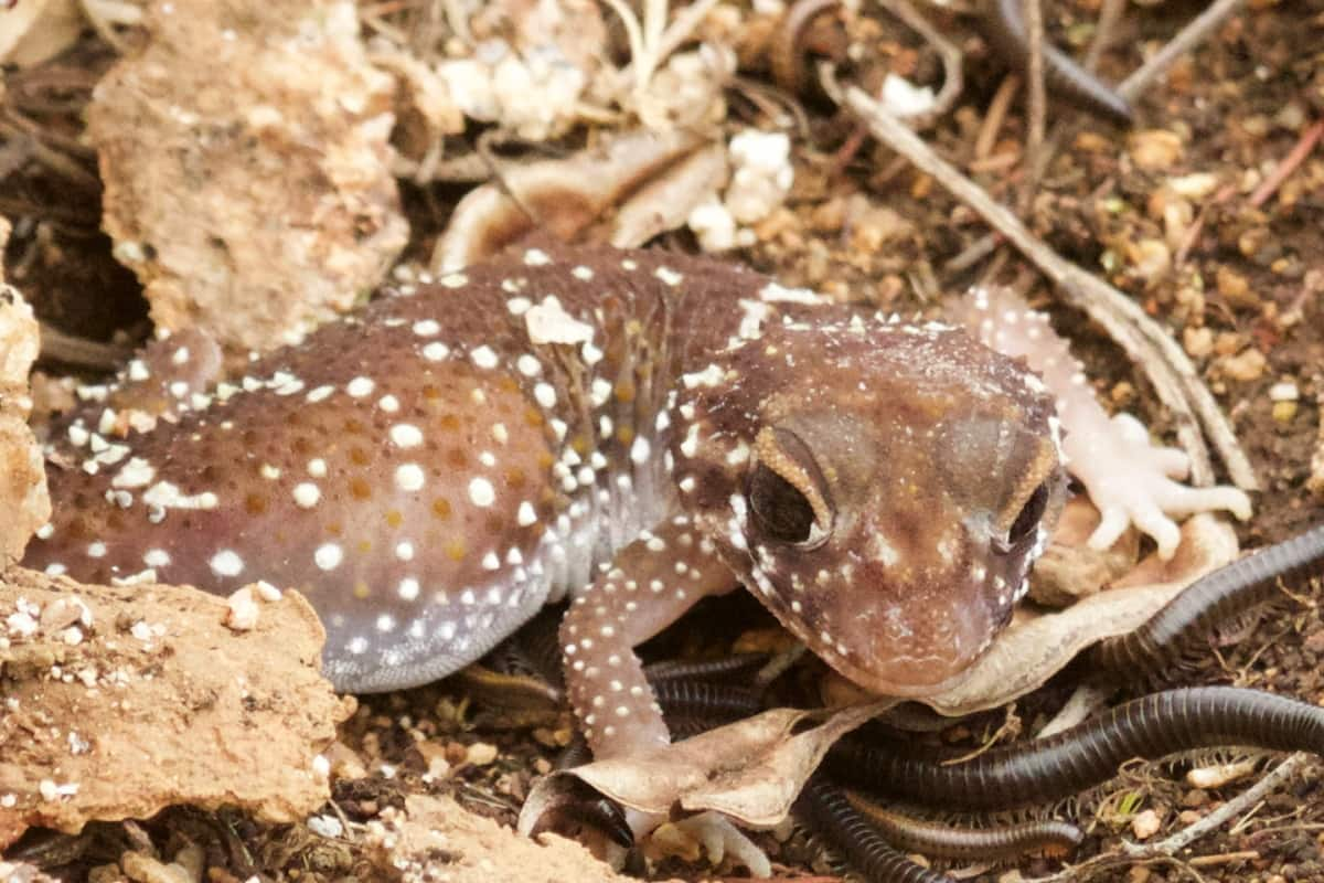 thick tailed gecko coast mountains deserts