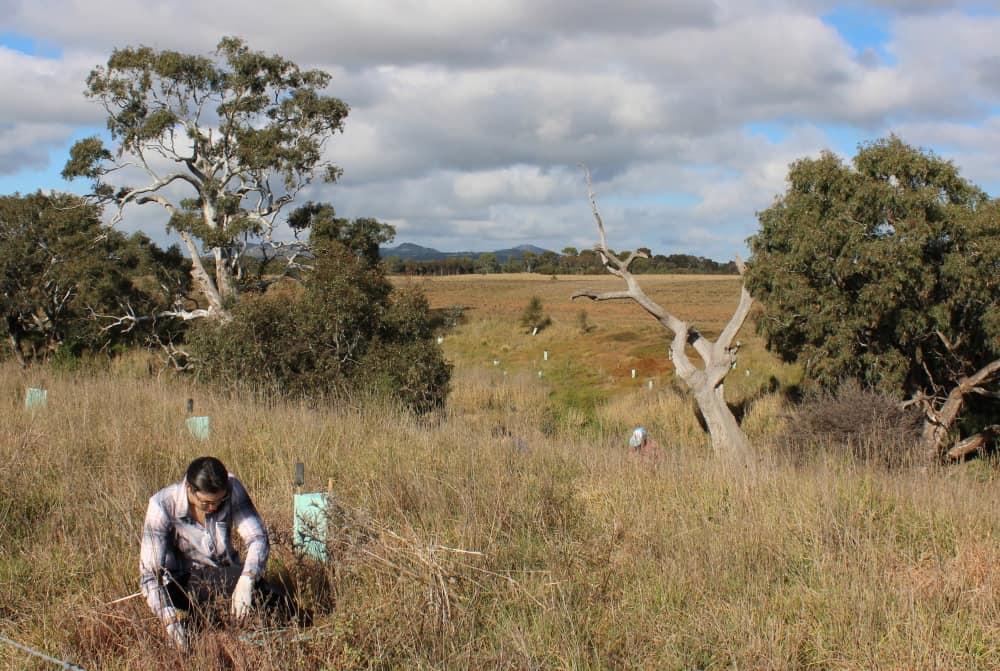 planting trees for koala recovery