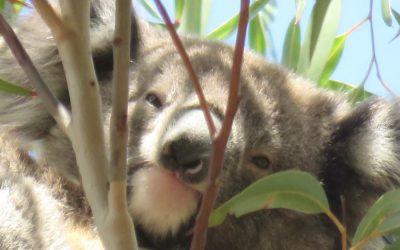 About Koala Balyang